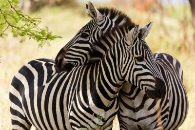 Poster Zebras