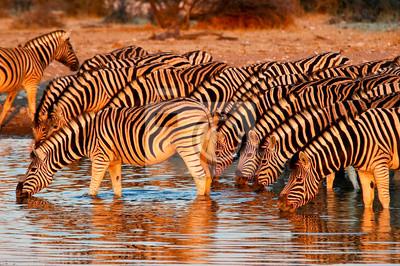 Poster Zebras am Wasserloch im Etosha Nationalpark, Namibia