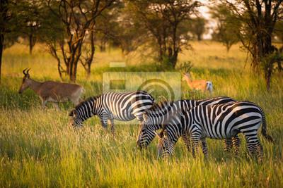 Zebras auf afrikanische Savanne im goldenen Licht