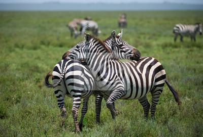 Zebras auf afrikanischen Savanne