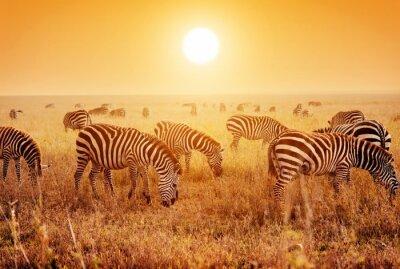 Poster Zebras Herde auf afrikanischen Savanne bei Sonnenuntergang.