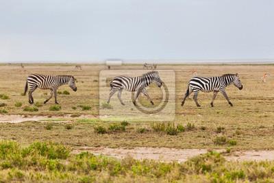 Zebras Herde auf der afrikanischen Savanne