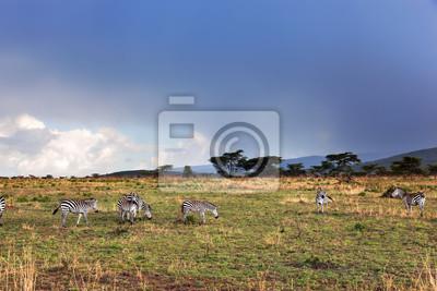 Zebras Herde der afrikanischen Savanne.