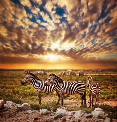 Zebras Herde der afrikanischen Savanne bei Sonnenuntergang. Safari in der Serengeti