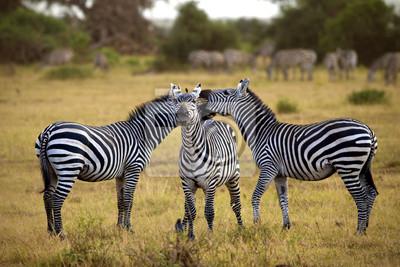 Zebras in Afrika zu Fuß in der Savanne