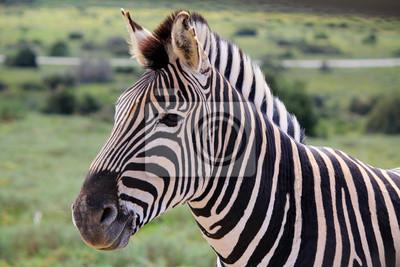 Zebras Kopf