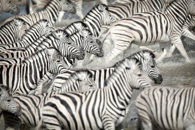 Zebras running in water