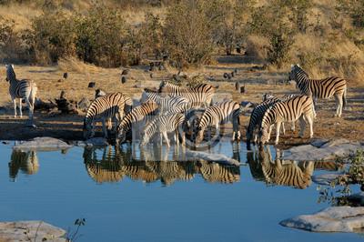 Zebras Trinkwasser