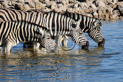 Zebras Trinkwasser, Okaukeujo Wasserloch