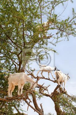 Ziegen auf einem Arganbaum, Essaouira, Marokko