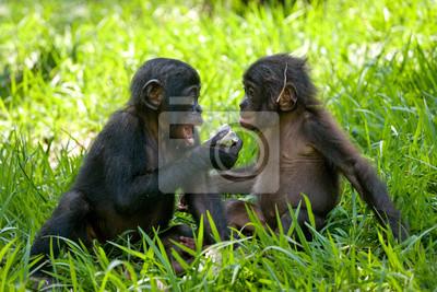 Zwei Baby Bonobo sitzt auf dem Rasen. Demokratische Republik Kongo. Lola Ya BONOBO Nationalpark. Eine ausgezeichnete Illustration.