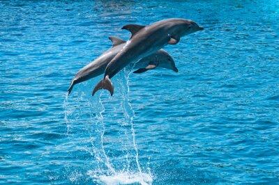 Poster Zwei Delphine über blauen Wasser springen