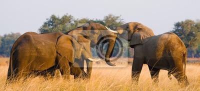 Zwei Elefanten spielen mit einander. Sambia. Unteren Zambezi Nationalpark. Zambezi River. Eine ausgezeichnete Illustration.