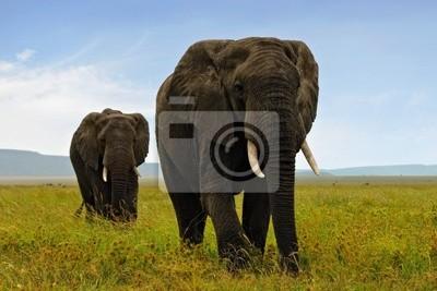 Zwei erwachsene afrikanische Elefanten zu Fuß in Savannah