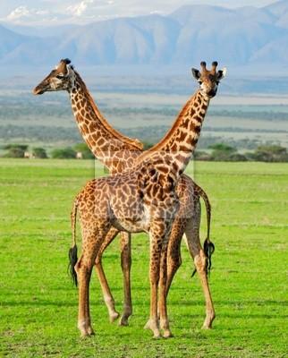 Zwei Giraffen im Serengeti Nationalpark
