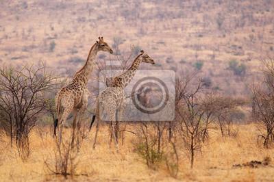Zwei Giraffen in Afrika