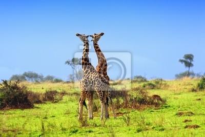 Zwei Giraffen in der afrikanischen Savanne