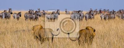 Zwei große männliche Löwen auf der Jagd. Nationalpark. Kenia. Tansania. Masai Mara. Serengeti Eine ausgezeichnete Illustration.