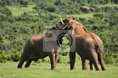 Zwei kämpfende Elefanten, Addo Elephant National Park, SüdAfric