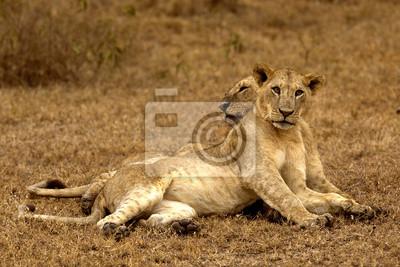 zwei Löwen in Nakuru liegen