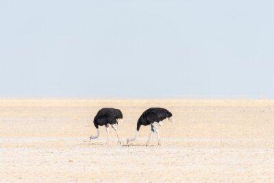 Zwei männliche Strauße, Struthio camelus, auf Fischers Pan