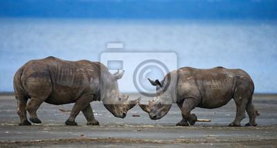 Zwei Nashorn Nase an Nase. Kenia.