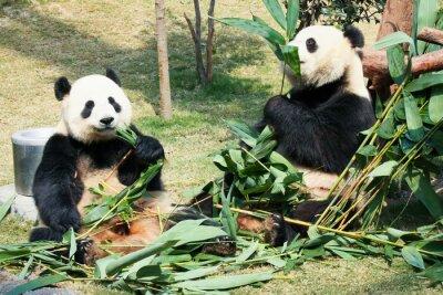 Poster Zwei Pandas essen Bambus