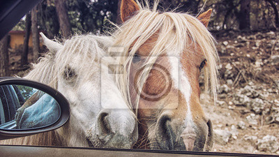 Zwei Ponys versuchen, im Auto während der Safari-Tour erhalten