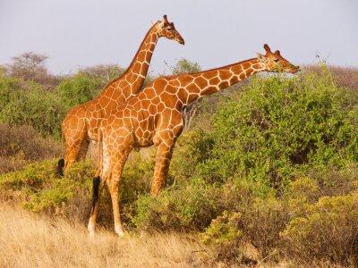 Poster Zwei retikulierte Giraffen essen Blätter aus Büschen