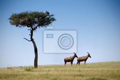 zwei Wasserböcke in Masai Mara