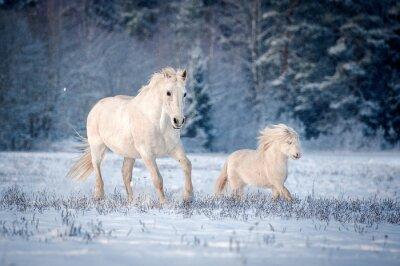 Poster Zwei weiße Pferde, die auf dem Feld im Winter laufen