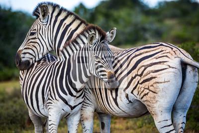 Zwei Zebras spielen mit einander, Südafrika.