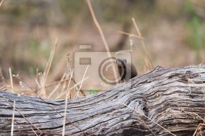 Zwerg Mongoose auf log