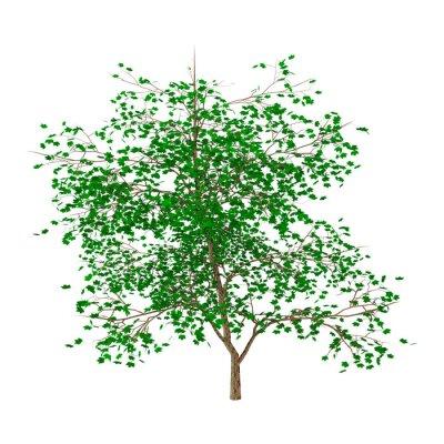 3D Illustration Maple Tree on White