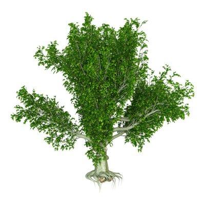 3D Rendering Beech Tree on White