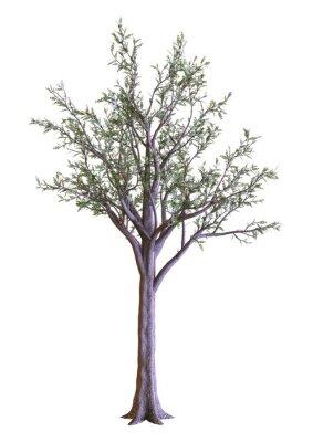 3D Rendering Dawn Redwood Tree on White