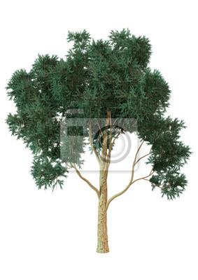 3D Rendering Eucalyptus Tree on White