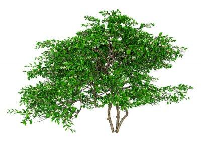 3D Rendering Lemon Blossom Tree on White