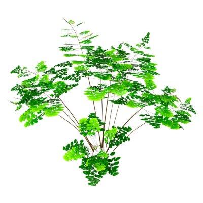 3D Rendering Maidenhair Plant on White