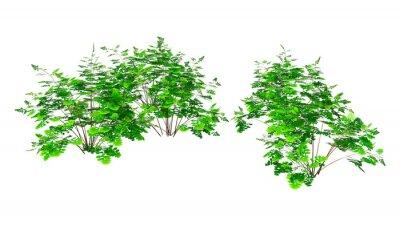 3D Rendering Maidenhair Plants on White
