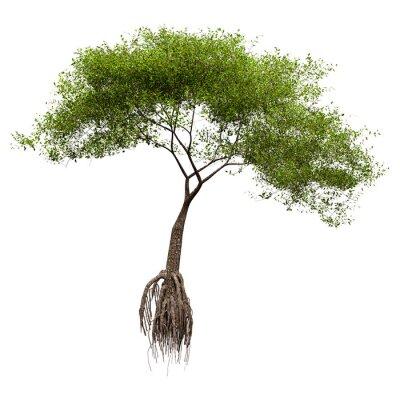 3D Rendering Mangrove Tree on White