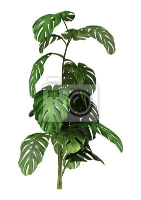 3D Rendering Monstera Pflanze auf Weiß