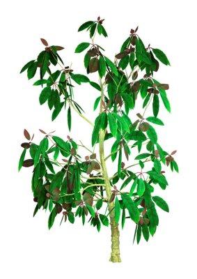 3D Rendering Saurauia Plant on White