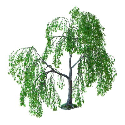 3D Rendering Willow Tree on White