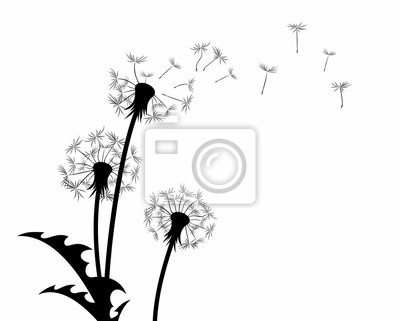 A flower of a field dandelion with flying seeds.