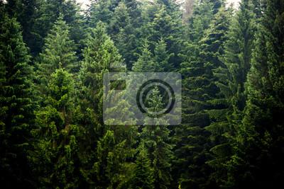 Sticker a spruce forest