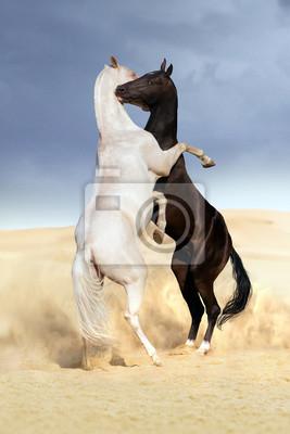Achal-Tekkiner Pferde Kampf