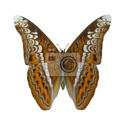Admiral-Schmetterling