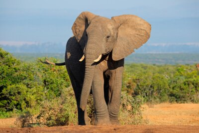 Sticker African elephant, Addo Elephant National Park