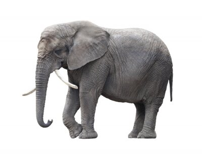 Sticker African elephant isolated on white with clipping path